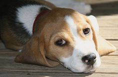 Holly the Beagle
