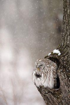 Ural Owl, Siberia, Russia.