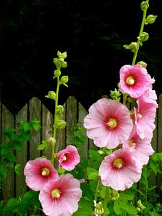 Can I Be Pretty in Pink: Holly Hocks Seeds