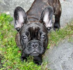 Vera the French Bulldog