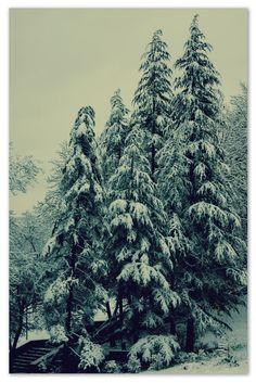 Winter snow trees pine (2667x4000, snow, trees, pine)  via www.allwallpaper.in