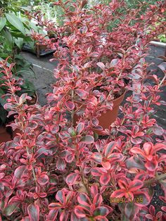 Coprosma 'Fireburst' is an evergreen shrub with striking green, cream and pink variegated foliage. The colour changes from cream/pink tones during the summer to fiery red foliage during the autumn and winter. 'Fireburst' is ideal for small hedges and gene Garden Shrubs, Shade Garden, Garden Plants, Garden Landscaping, Evergreen Shrubs, Trees And Shrubs, Back Gardens, Outdoor Gardens, Shade Shrubs