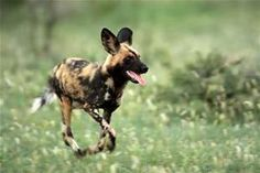 African Wild Dog,  no more than 5,000 in the wild