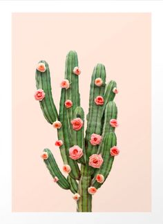 Cactus Roses by Paul Fuentes as Poster Cactus Rose, Buy Cactus, Cactus Art, Cactus Plants, Cacti, Kaktus Illustration, Illustration Blume, Plant Wallpaper, Galaxy Wallpaper