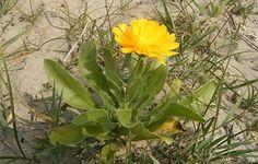 Águas de Pontal: Planta silvestre pode atenuar a escassez de alimen...