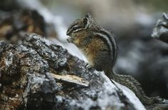 Chipmunks are a member of the squirrel family and are small ground-dwelling rodents, although they can climb trees. Chipmunks can cause a lot of damage to a garden. They dig up...