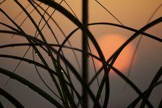 Nolina Sunset