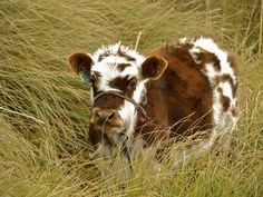 Fluffy Cows? by volpe60610.deviantart.com on @deviantART