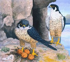 In Peregrine Falcons the use of a spiky impasto for the birds and background enlivens them and gives them an actual physical presence. Description from daydaypaint.com. I searched for this on bing.com/images