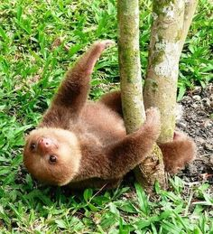 Sloth. Cutie little sloth baby he looks so happy