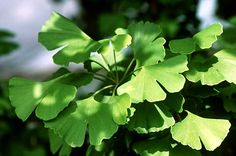 Ginko Biloba  Treats Alzheimer's disease, increases circulation, pushes blood to the extremeties, tastes like almonds and smells like rancid butter