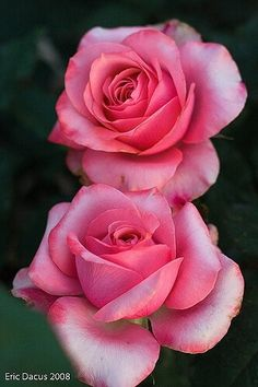 By Artist Unknown. Beautiful Rose Flowers, Pretty Roses, Love Rose, Flowers Nature, Exotic Flowers, Amazing Flowers, Beautiful Flowers, Lavender Roses, Purple Roses