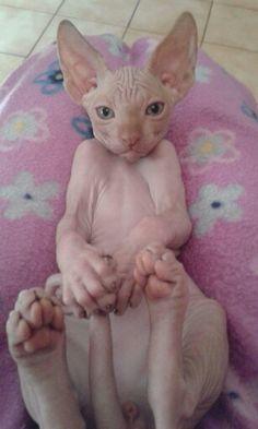 I Love Cats, Crazy Cats, Cool Cats, Sphinx Cat, Rex Cat, Cat Pose, Cute Animals, Funny Animals, Tier Fotos