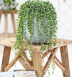 """""""String of Pearls"""" de Senecio Rowleyanus, beter bekend als Erwtenplant. #StringsOfPearls #HouseOfPlants #Planting #PlantLife #HetBestevandeKweker #Groen #UrbanJungle #HaalGroenInHuis #GroenInHuis #PlantsaGram #PlantsOfInstagram #PlantsAreFriends"""