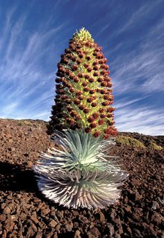 This plant is found only in one place in the entire world and I got to see a silver sword on a mountain in Maui!
