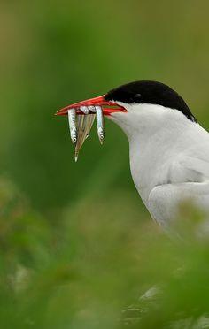 Arctic Tern by Benjamin Joseph Andrew, via Flickr
