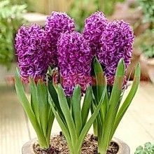This classic Hyacinth has elegant,highly scented Purple Flowers. 5 x Purple Sensation Hyacinth Bulbs. Blue Hyacinth, Hyacinth Flowers, Water Hyacinth, Bulb Flowers, Daffodils, Perennial Bulbs, Small Bouquet, Peat Moss, Spring Blooms