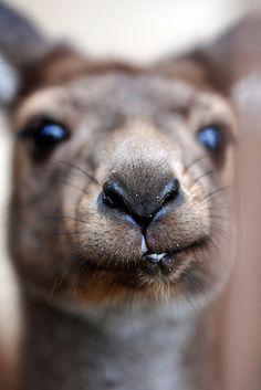 kangaroo kiss