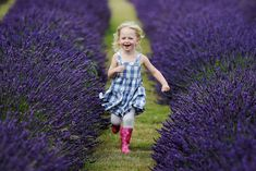 Is this patch of purple the South of France? No, it's harvest time at Britain's largest lavender farm