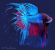 Blue Betta Crowntail..I had one just like that!