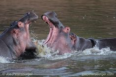 Photo by @joepetersburger / @ thephotosociety // YOUR TIME IS NOW! // Hippos fighting in a pond. Why do I recommend to shoot and paractice as much as possible at your own backyard? First of all, because lovely pictures can be taken anywhere you live, if you open your eyes and use your creativity. On the other hand, you can keep your skills at top level, whenever you have a rare opportunity to catch. I had only #5 days in Masai Mara National Reserve, and tried to photograph as many species as…