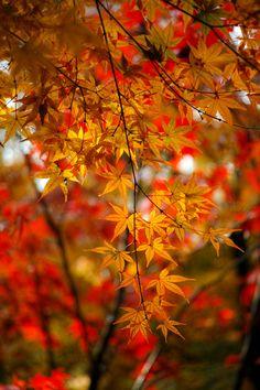 """do15dy69-1: """" tinnacriss: """"  Momiji beauty by Shinichiro Saka Via Flickr: 平林寺 """" """""""