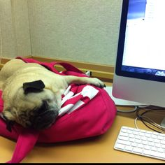 helping out at work... #pug #furbaby