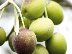 Local olive industry bursting with potential | Farmer's Weekly