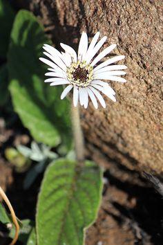Gerbera ambigua Kwazulu Natal, Gerbera, Wildflowers, Dandelion, Wildlife, Plants, Dandelions, Plant, Taraxacum Officinale