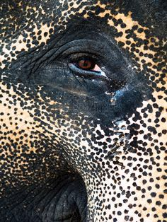 I got my eye on you / gentlethrills:      ELEPHANT by BoazImages on Flickr.