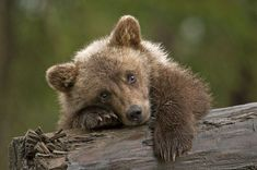 I want a grizzly bear! Isnt he cute? Grizzly Bear Cub, Bear Cubs, Tiger Cubs, Panda Bears, Tiger Tiger, Bear Pictures, Animal Pictures, Cute Baby Animals, Animals And Pets