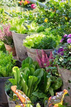 Naturliga Ting Trädgårdsblogg: Odla sallad inför hösten