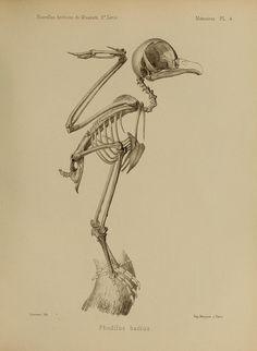 phodilus badius - the oriental bay owl. mouvelles archives du muséum d'histoire naturelle, paris 1865-1914.