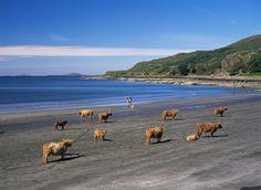 Koeien op het strand... Only in Scotland!