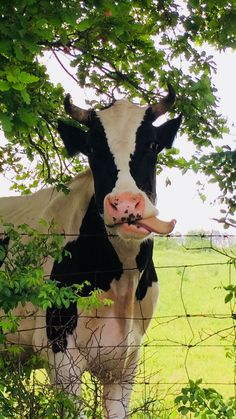 Holstein cow tounge out – animals Farm Animals, Funny Animals, Cute Animals, Beautiful Creatures, Animals Beautiful, Holstein Cows, Cute Cows, Funny Cows, Baby Cows