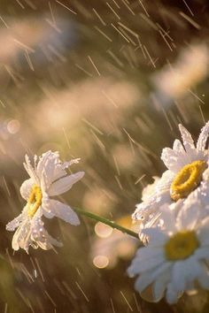 ☂YOU WOULD THINK THE PETALS WOULD BE RAINED OFF………BUT, THEY COME BACK STRONGER THAN EVER AFTER A GOOD DOWNPOUR……….ccp