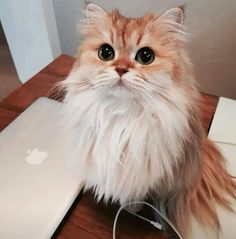 Pretty kitty with a long ruff! Animals And Pets, Baby Animals, Cute Animals, Pretty Cats, Beautiful Cats, Pretty Kitty, I Love Cats, Cool Cats, Son Chat