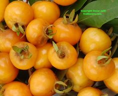 Pitomba: Rare Fruit Seeds and Exotic Tropical Fruit Seeds