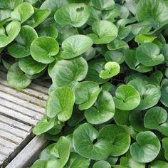 Een groenblijvende bodembedekker die graag in vochtig schaduw staat.De dikke glanzende bladeren staan een beetje opgericht.Aromatisch. | Planten online kopen