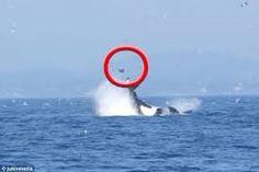 Resultado de imagem para killer whale