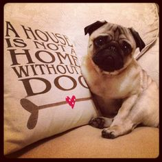 A lovely pug & a lovely cushion x