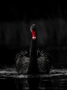 Black Swan with Ruby Red Bill