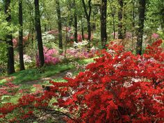 Azaleas at the U.S. National Arboretum