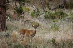 See you behind the lens...: Beautiful Buck in Custer State Park by Dakota Visions Photography, LLC