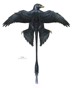 A pigeon-sized, four-winged dinosaur known as Microraptor had black iridescent feathers when it roamed the Earth 130 million years ago, according to new research led by a team of American and Chinese scientists that includes Museum researchers. The dinosaur's fossilized plumage is the earliest record of iridescent feather color.