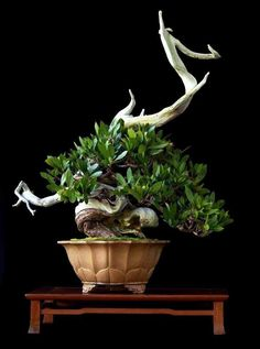 Bonsai and revealed bark
