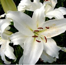 72 Best All About Lilies Images Beautiful Flowers Exotic Flowers