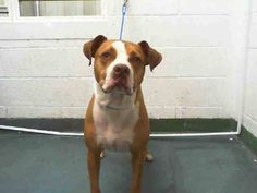 MACK (A1646406) I am a male brown and white American Bulldog.  The shelter staff think I am about 1 year and 5 months old.  I was found as a stray and I may be available for adoption on 09/26/2014. — hier: Miami Dade County Animal Services. https://www.facebook.com/urgentdogsofmiami/photos/pb.191859757515102.-2207520000.1411342796./843284899039248/?type=3&theater