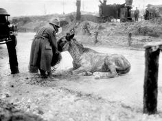 A soldier gives an exhausted mule some food, somewhere in Fricourt, France. December 1916.
