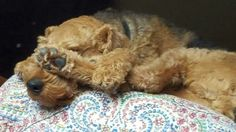 Airedale Sleep Position # 214 A